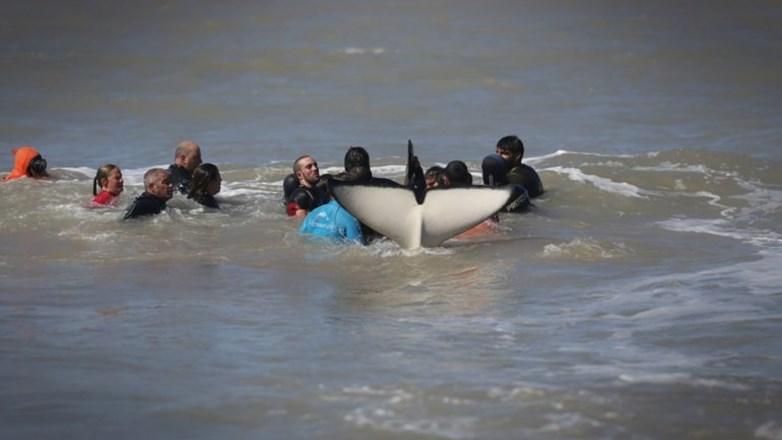 Mar Chiquita: terminó el rescate: seis orcas fueron salvadas y una murió