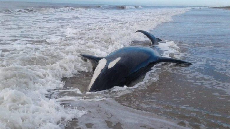 Mar Chiquita: aparecieron siete orcas varadas en La Caleta